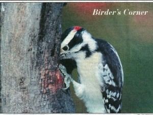 Downy Woodpecker in Cape Cod