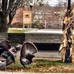 turkeys in cae cod by falmouth library