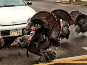 turkeys in cape cod stopping traffic on main street