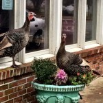 turkeys in cape cod sitting in flower pot in front of Bearin Boots gastropub