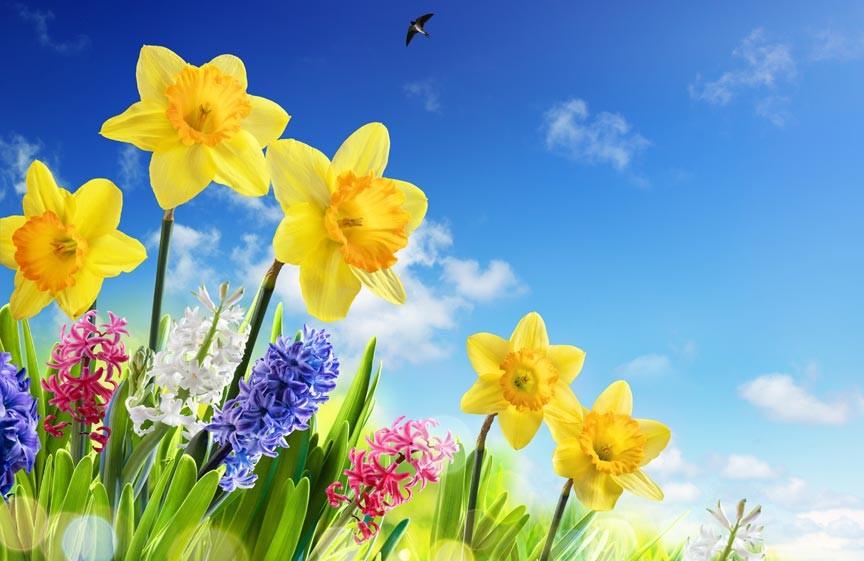 Spohr Gardens Daffodil Days 2018