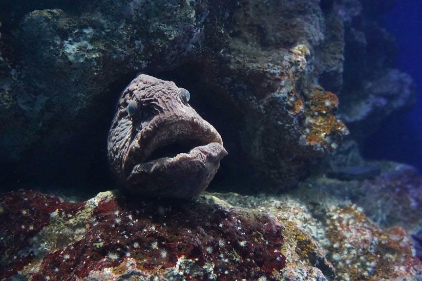 A Wolffish at Woods Hole Science Aquarium